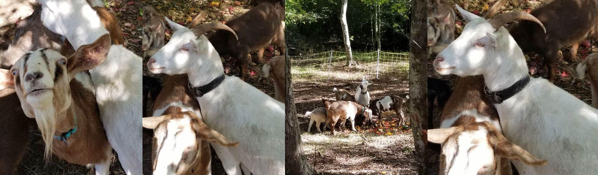 marthas vineyard goats
