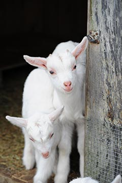2 baby goats in shed West Tisbury farm