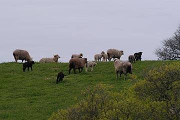 Sheep grazing Allen Farm pastures in Chilmark