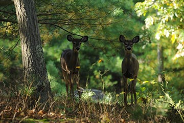 two white tail deer in woods on Martha's Vineyard in the summer